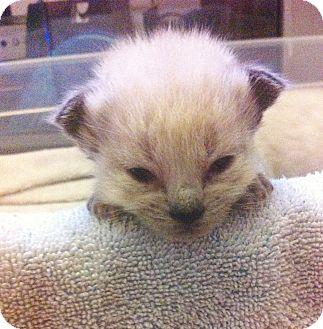 Domestic Shorthair Kitten for adoption in Xenia, Ohio - Frankie