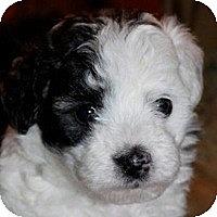 Adopt A Pet :: Layla - La Costa, CA