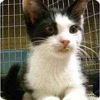 Adopt A Pet :: Lil' Cow Wow - Davis, CA