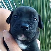 Adopt A Pet :: Chef - Long Beach, CA