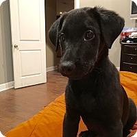 Adopt A Pet :: Bella Rae - Hatifeld, PA