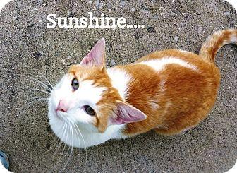 Domestic Shorthair Cat for adoption in Somerset, Kentucky - Sunshine