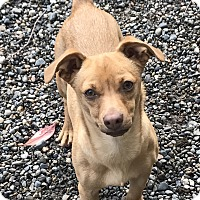 Adopt A Pet :: Owen - Auburn, WA