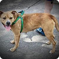 Adopt A Pet :: Sapphire - Durham, NC