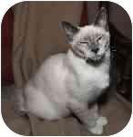 Siamese Kitten for adoption in Cleveland, Ohio - Ceyan