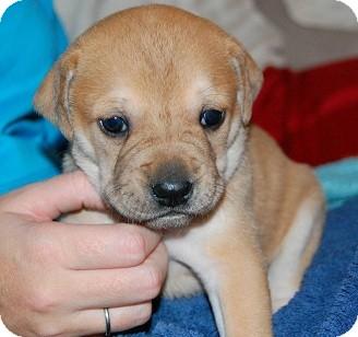 Pitbull/Lab babies | Adopted Puppy | Seattle, WA | Pit ...