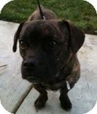 Boston Terrier/Chihuahua Mix Dog for adoption in Modesto, California - Tank