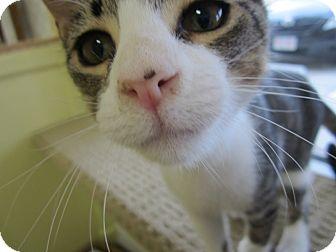 Domestic Mediumhair Cat for adoption in Bunnell, Florida - Jason