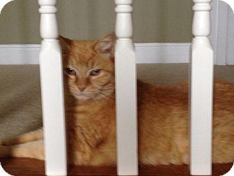 Domestic Mediumhair Cat for adoption in Monroe, North Carolina - Goldie