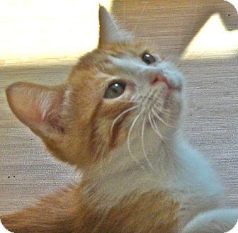 Ragdoll Kitten for adoption in Escondido, California - Finn