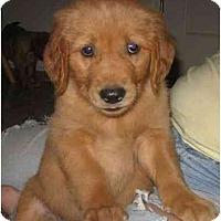 Adopt A Pet :: Golden Boys - Chandler, IN