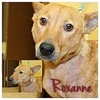 Basenji/Corgi Mix Dog for adoption in Garden City, Michigan - Roxanne