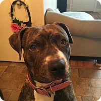 American Pit Bull Terrier Mix Dog for adoption in Manhattan, New York - Victoria