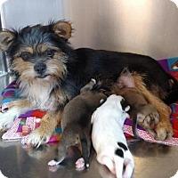 Adopt A Pet :: Lillian - Seneca, SC