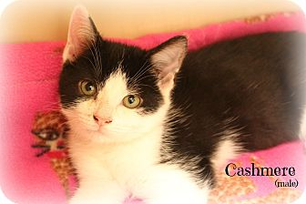 Domestic Shorthair Kitten for adoption in Glen Mills, Pennsylvania - Cashmere
