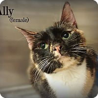 Domestic Shorthair Cat for adoption in Springfield, Pennsylvania - Ally