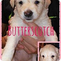 Adopt A Pet :: Butterscotch - Allen, TX