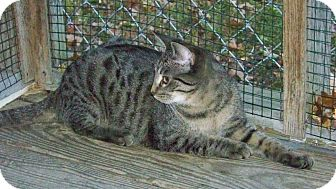 Domestic Shorthair Cat for adoption in Dover, Ohio - Tabitha