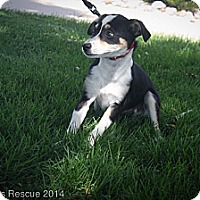 Adopt A Pet :: Rocket - Broomfield, CO