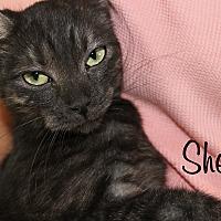 Domestic Mediumhair Cat for adoption in Wichita Falls, Texas - Shelly