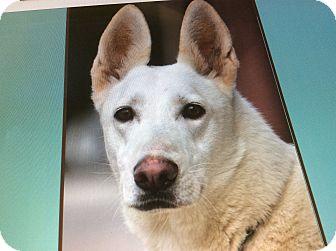 German Shepherd Dog Mix Dog for adoption in Los Angeles, California - SNOWBALL VON MEULER