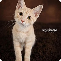 Domestic Shorthair Cat for adoption in Shakopee, Minnesota - Tickles C1432
