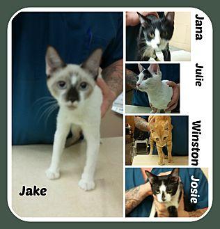 American Shorthair Kitten for adoption in Malvern, Arkansas - KTTENS - 3 fem/2 males