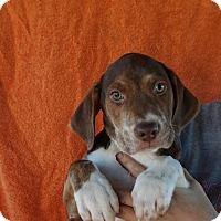 Adopt A Pet :: Pogo - Oviedo, FL