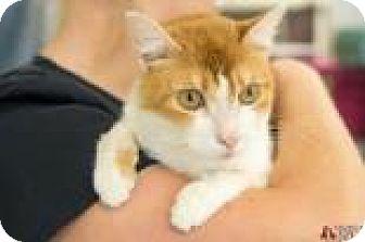Domestic Mediumhair Cat for adoption in Suwanee, Georgia - Megan