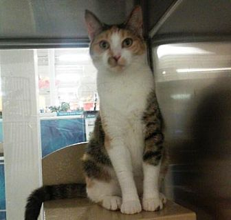 Domestic Shorthair Cat for adoption in Houston, Texas - April