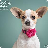 Adopt A Pet :: Evie - Chandler, AZ