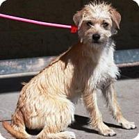 Adopt A Pet :: Cherrie - Gilbert, AZ