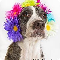 Adopt A Pet :: Millie Margaret - Newport, KY