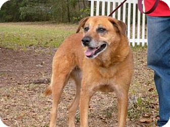 Golden Retriever/Chow Chow Mix Dog for adoption in Gainesville, Florida - Sandy