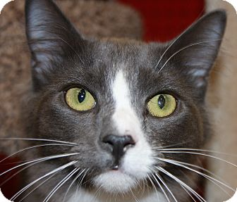 Domestic Mediumhair Cat for adoption in Phoenix, Arizona - Basil