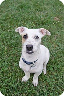 Labrador Retriever/Terrier (Unknown Type, Small) Mix Puppy for adoption in Brooklyn, New York - Ella