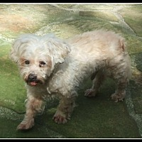 Maltese/Toy Poodle Mix Dog for adoption in Gainesville, Florida - Martin (FL)