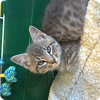 Adopt A Pet :: Gray tiger male kitten - Manasquan, NJ