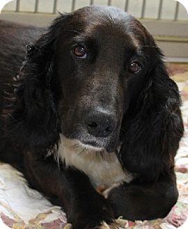 Basset Hound Mix Dog for adoption in Savannah, Missouri - Gracie