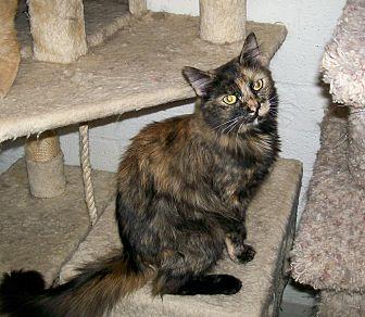 Domestic Mediumhair Cat for adoption in Scottsdale, Arizona - Crystal