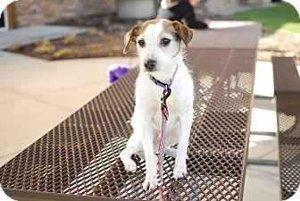 Jack Russell Terrier Mix Dog for adoption in Detroit, Michigan - Shelby-Adopted!