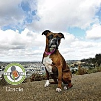 Boxer Dog for adoption in Oceanside, California - Gracie