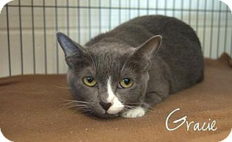 Domestic Shorthair Cat for adoption in Middleburg, Florida - Gracie