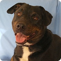 Pit Bull Terrier Mix Dog for adoption in Cuba, New York - Cole Princeton
