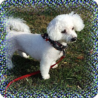 Bichon Frise Dog for adoption in Tulsa, Oklahoma - Adopted!!Rocco - CT
