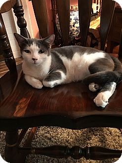 American Shorthair Kitten for adoption in Great Neck, New York - Ernie