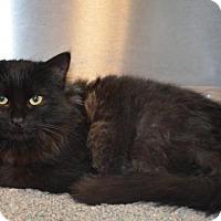 Domestic Mediumhair Kitten for adoption in Bryan, Texas - HURRICANE