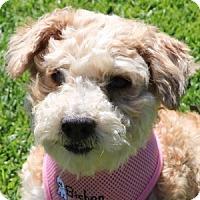 Adopt A Pet :: Munchkin - La Costa, CA