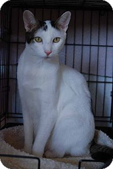 Domestic Shorthair Cat for adoption in New Port Richey, Florida - Hart