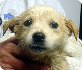 Labrador Retriever Mix Puppy for adoption in Greencastle, North Carolina - Vanilla